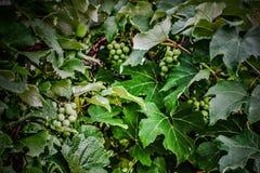Fruit de la vigne Photographie stock
