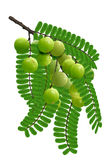 Fruit de leafflower d'emblica Image libre de droits