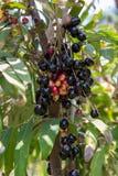 Fruit de Leenh Thaïlande de fruticosa de Luna Nut Lepisanthes Fruticosa Leenh de Luna Nut Lepisanthes en condition de nature avec photographie stock libre de droits
