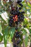 Fruit de Leenh Thaïlande de fruticosa de Luna Nut Lepisanthes Fruticosa Leenh de Luna Nut Lepisanthes en condition de nature avec photos stock