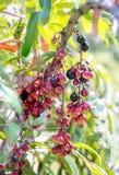 Fruit de Leenh Thaïlande de fruticosa de Luna Nut Lepisanthes Fruticosa Leenh de Luna Nut Lepisanthes en condition de nature avec photographie stock