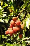Fruit de litchi sur l'arbre Photographie stock libre de droits