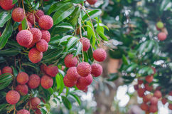 Fruit de Lychee Images stock