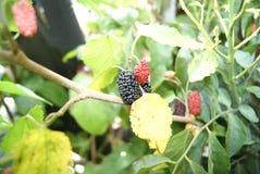 Fruit de mûre Photographie stock