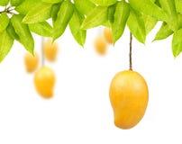 Fruit de mangue avec des feuilles Photo stock
