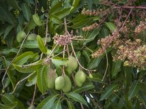 Fruit de mangue sur l'arbre et l'inflorescence photo libre de droits
