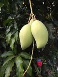Fruit de mangues sur l'arbre dans le naturel images libres de droits