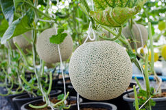 Fruit de melon ou de cantaloup sur l'arbre Images stock