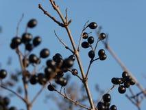 Fruit de nerprun d'aulne d'alnus de Frangula Image stock
