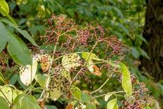 Fruit de nigra de Sambucus Photos stock