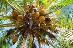 Fruit de noix de coco sur l'arbre de noix de coco photo stock