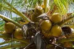Fruit de noix de coco sur l'arbre de noix de coco photos libres de droits