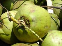 Fruit de noix de coco de vert de la Malaisie image stock