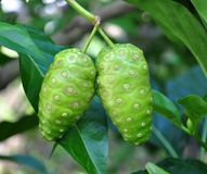 Fruit de Noni Image stock