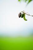 Fruit de Noni Image libre de droits