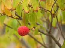 Fruit de Norman Hadden de cornus sur l'arbre en automne Photographie stock libre de droits