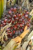 Fruit de palmier à huile Image libre de droits