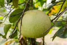 Fruit de pamplemousse dans l'arbre Photographie stock
