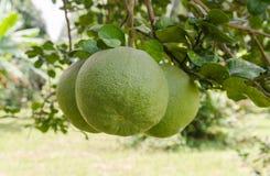 Fruit de pamplemousse dans l'arbre Images stock