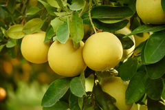 Fruit de pamplemousse dans le jardin Photographie stock