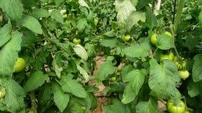 Fruit de plantes de tomate en serre chaude banque de vidéos