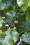 Fruit de poire de Bradford - calleryana de Pyrus Image libre de droits