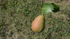 Fruit de poire sur l'arbre clips vidéos