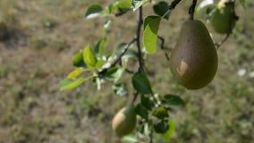 Fruit de poire sur l'arbre banque de vidéos