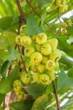 Fruit de pomme de Rose Photo stock