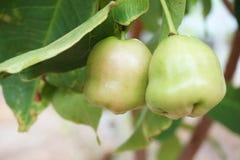 Fruit de pomme de Rose Photo libre de droits