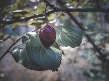 Fruit de prune de quetsche sur l'arbre image stock