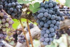 Fruit de raisin sur l'arbre Photo stock