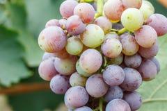 Fruit de raisin sur l'arbre Photo libre de droits
