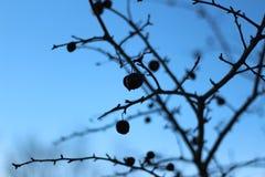 Fruit de Resiliant au milieu de l'hiver Images libres de droits