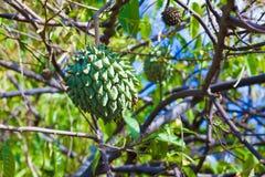 Fruit de Rollinia Photographie stock libre de droits