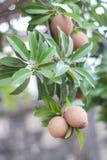 Fruit de Sapota sur l'arbre Photo stock