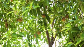Fruit de sapotille sur l'arbre banque de vidéos