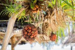Fruit de screwpine de bord de la mer Photo stock