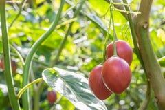 Fruit de tamarillo Image libre de droits