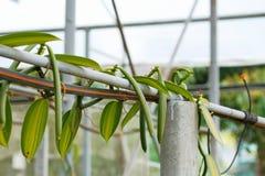 Fruit de vanille Image stock