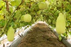 Fruit de vert de hispida de Benincasa Image stock