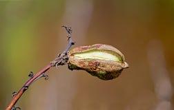 Fruit de yucca de Soapweed Image libre de droits