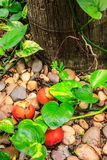 The fruit does not fall far from the tree. Idiom, saying.  Royalty Free Stock Photography