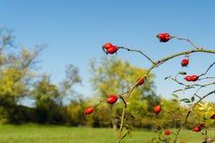 Fruit of dog-rose Stock Photos