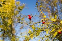 Fruit of dog-rose Royalty Free Stock Photography