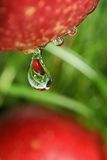 Fruit drop. Royalty Free Stock Photo