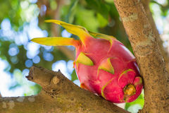 Fruit du dragon Photos stock