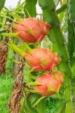 Fruit du dragon Images stock