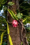 Fruit du dragon rose accrochant sur une amende dans un jardin tropical image libre de droits