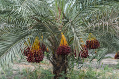 Fruit du palmier dattier photographie stock libre de droits